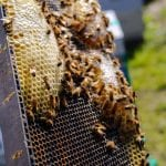 Honey bees on a hive
